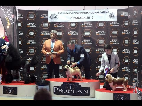 BEST OF BREED Cavalier King Charles - Granada Int. Dog Show´17