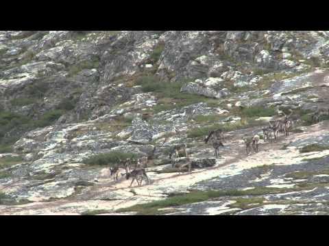 2014 Caribou Summer Migration in Nunavik Canada