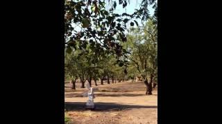 Cochecha de la almendra - almond harvesting
