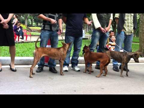 Show Chó Phú Quốc