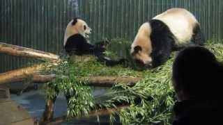 Pandas At Shanghai Zoo