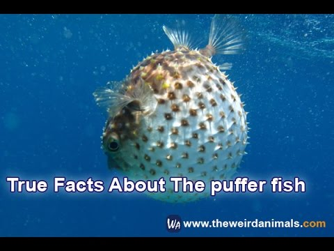 True facts about the puffer fish youtube for Facts about puffer fish