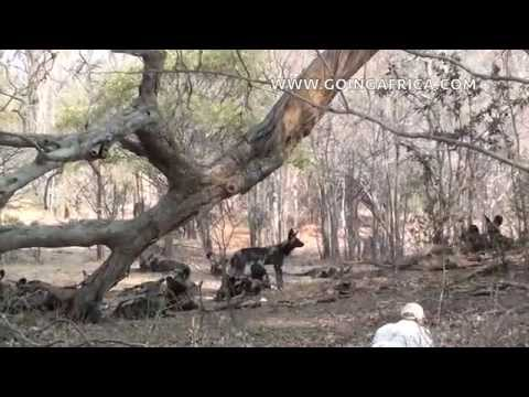 Wild dogs Mana Pools approach