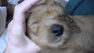 Rosie the Magnificent - Female Goldendoodle Puppy -  6 wks old 5/21/13