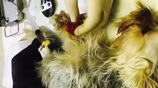 Перелом у собаки - лучевой и локтевой костей лапы. Диагностика