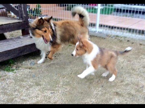 シェルティ(シェットランドシープドッグ)仔犬たちのお庭デビュー。