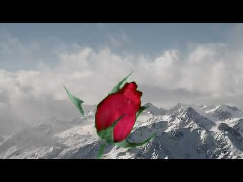 I love you rose flower picture