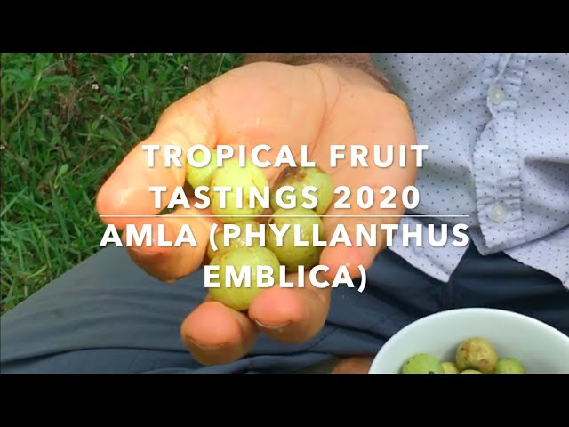 Florida Exotic Fruit Tastings 2020 -  Bitter Amla or Indian gooseberry, the King of Superfoods