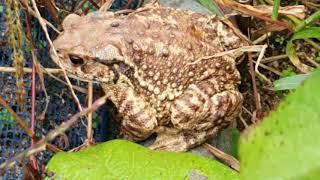 서리태콩 밑에서 두꺼비가 낮잠을 자고 나왔습니다.