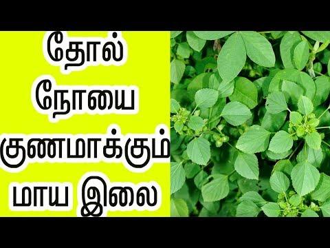 தோல்-நோயை-குணமாக்கும்-மாயா-இலை-|-thol-noi-nattu-maruthuvam-in-tamil