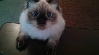Смешной котик играет. Большие голубые глаза. Невская маскарадная