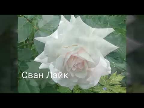 Фотографии роз с подписью сортов. Подмосковье