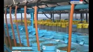 Астраханские рыбоводы восполняют численность белорыбицы в естественных водоёмах