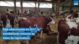 Salon de l'agriculture 2018 : la vache montbéliarde Hargneuse fait la fierté du Gaec Devillairs