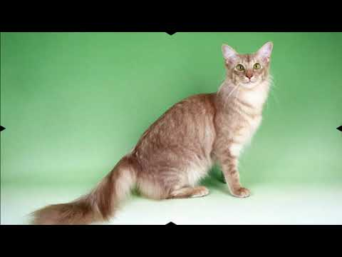 Javanese - cat breed