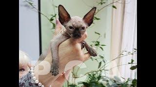 Котята канадские сфинксы из питомника кошек PCA РУБИСЕТ
