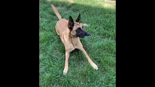 Minx Playing in the Grass |Belgian Malinois