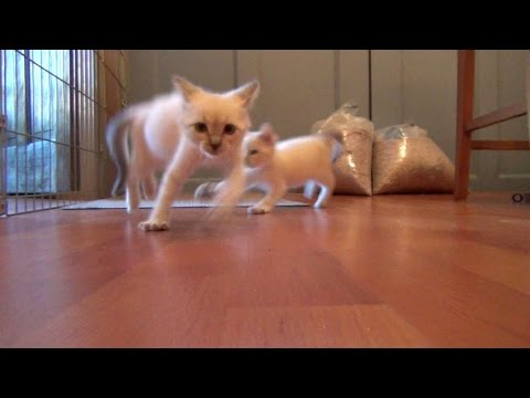 Foster Kitten Does The Scary Cat Dance