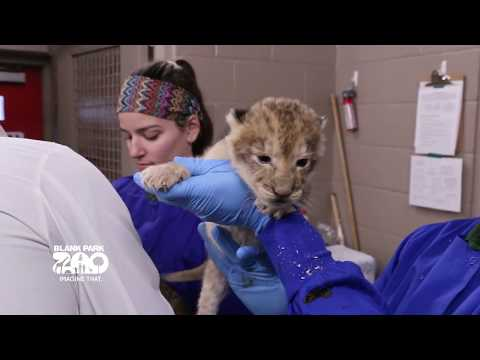 Lion Cubs Born at Blank Park Zoo