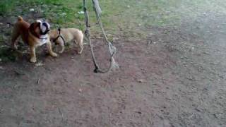 Bulldogs On The Rope Swing