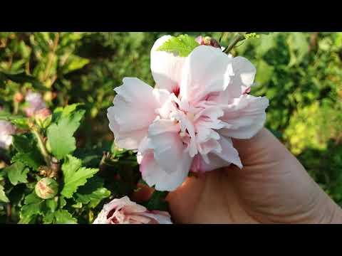 Гибискус садовый махровый Леди Стенли