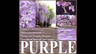Chinese Blue Purple Wisteria - Wisteria Sinensis Seeds - By Myseeds.co