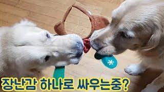 골든리트리버 커플에게 장난감 하나를 던져주었다. 결과는?? (feat.다지난 크리스마스)
