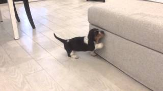 Bassethound puppy wants to hop on the sofa