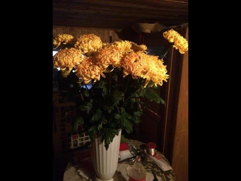 хризантема крупноцветковая  вырастить на продажу! 1