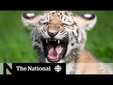 Saving The Endangered Siberian Tigers From Extinction | Dispatch