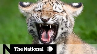 How Russia is working to save endangered Siberian tigers from extinction