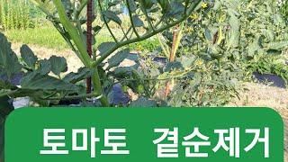 토마토 순치는법