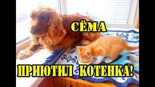 Спаниель Сёма принял котенка в семью