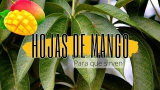 para que sirve las hojas de mango, propiedades y beneficios del te para la diabetes