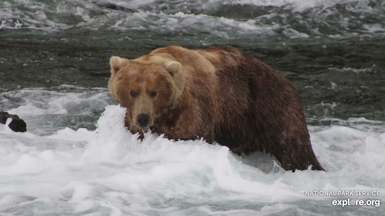 Live Bear Broadcast Booth! - MIKE FITZ/Naomi Boak go Play by Play at Brooks Falls! July 19th, 2021