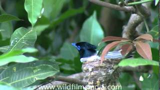 Asian Paradise Flycatcher in Corbett National Park