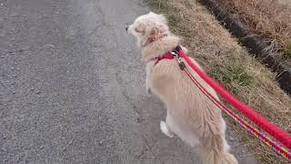 保護犬のお散歩✨くうちゃん、詩(うた)ちゃん編