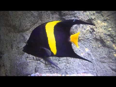 Asfur Angelfish