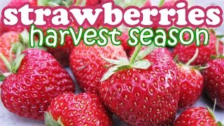 Strawberry Plant Fruit Harvest - Growing Strawberries Fruits - Organic Container Gardening - Jazevox