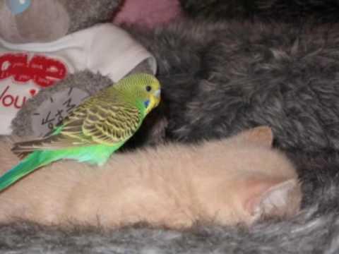 amitie entre une perruche et un chat