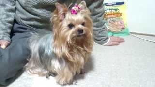 我が家の愛犬 「クッキー」です。 ヨークシャテリア 8歳です。 私にと...
