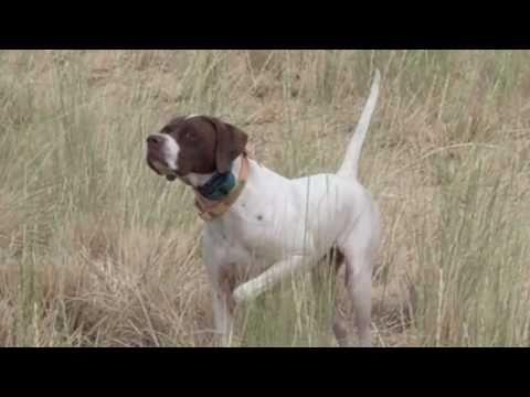 Higgins Gundog Training, The Bird Says 'Whoa'