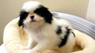 犬種:狆(チン)/URL:http://nipponpet.co.jp カラー:白黒/性別:女の...