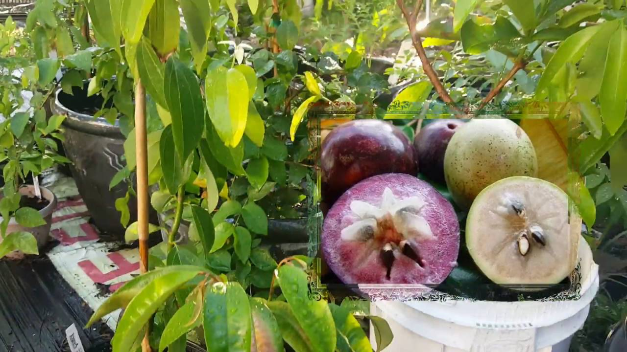 June 2016 Garden Tour With Tropical Fruit Trees
