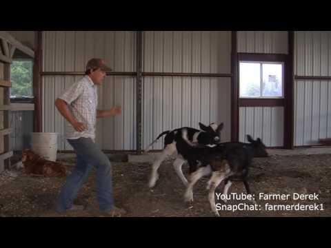 Juju on that beat--Farmer Derek and baby calves