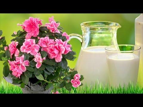 Молоко для растений? Молоко как удобрение и защита от болезней и вредителей.
