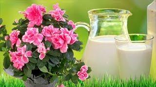 молоко для растений? Молоко как удобрение и защита от болезней и вредителей