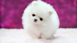 Самые маленькие породы собак!
