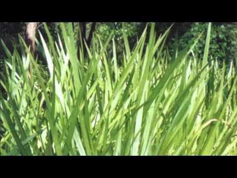 Корень Аира (Корневища Аира болотного) купить по цене от