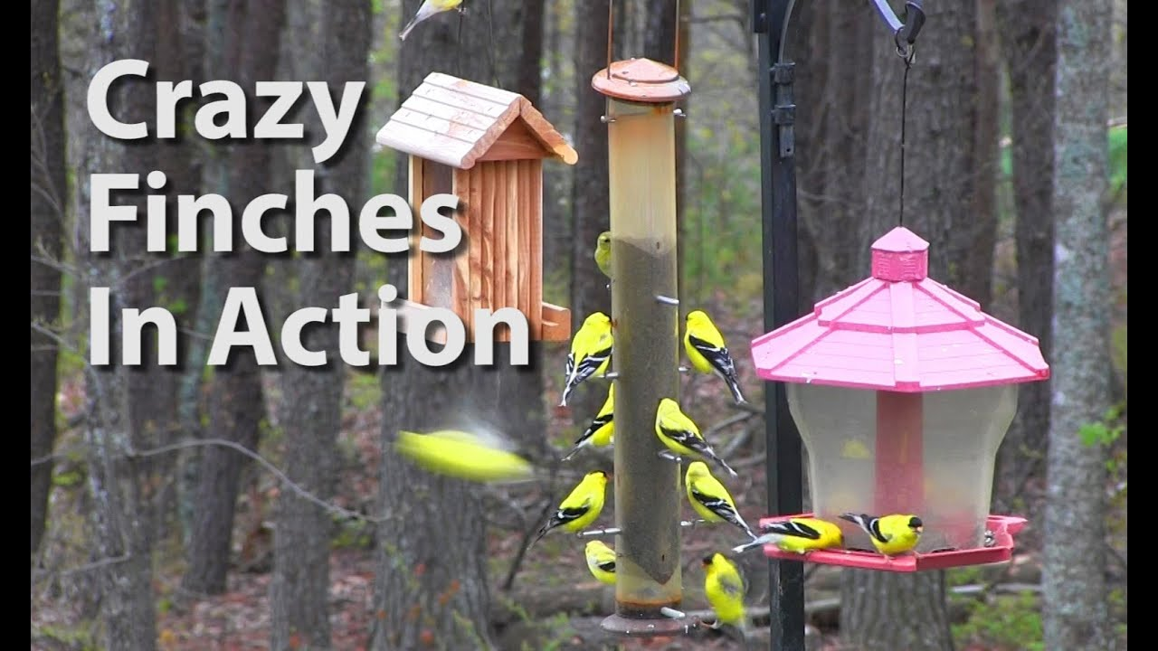 seed perch to garden blue panorama outside warblers give places feeder style wild goldfinches starlings for gazebo birds feeders plenty leegoal jays intl and around products finches house bird tray eat finch more wrap